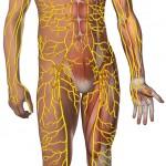Schematische Darstellung des menschlichen Lymphsystems.